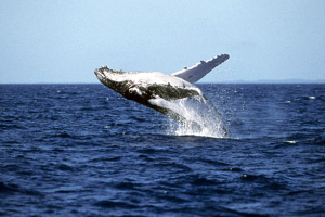 whale watching in Rincon, Puerto Rico
